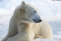 Polar Bear - Zoo Munchen Hellabrunn January 2016 17 (reineckefoto) Tags: schnee winter mnchen polarbear eisbr thalkirchen tierfotografie zoohellabrunn ralfreinecke zoohellabrunnmnchen