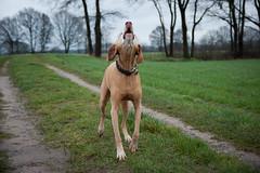 Balco (sebastian_bocholt) Tags: dog hund bocholt jagdhund magyarvizsla ungarischervorstehhund alpha350 tamronaf1750mm28