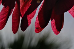 Spinners (donjuanmon) Tags: red abstract nature closeup maple seeds spinners backlighted donjuanmon