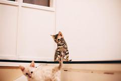 (Johanna Olovsson) Tags: cute canon 50mm kitten spotted johanna kattungar bengal nol olovsson vsco