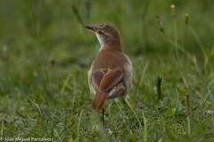 7- Esta es el ave Nacional de Argentina, por tanto es el ave de todos mis amigos Argentinos Ruben , Nen Reguera y Milagrucha.!!Toda una leyenda esta especie por sus grandes nidos de barros, su laboriosidad y su hermoso canto desde la madrugada! (Cimarrn Mayor !!!7,000.000 DE VISITAS, GRACIAS!!) Tags: naturaleza bird brasil fauna libertad pssaro ave oiseau libre vogel montaas uccello barreiro panta ptak fgel lintu pedreiro  dominicano ptica hornero joodebarro alonsito  oleiro forneiro amassabarro  mariadebarro ptek ordenpasseriformes hornerocomn libertee familiafurnariidae cimarrnmayor canoneos7dmarkii 7dmarkii juandelbarro josmiguelpantalen canon7dmarkii telefoto700mm gnerofurnarius jodebarro nombrecientificofurnariusrufus nombreinglesrufoushornero lugardecapturacuritiba