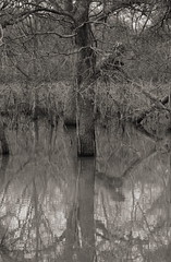 trees in the water (pvh photo) Tags: tree flood supertakumar10528 dailyinfebruary