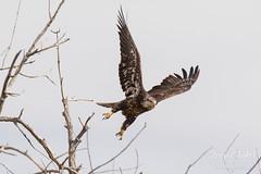 Juvenile Bald Eagle struggles to land - 4 of 27