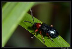 Oulema melanopus (cquintin) Tags: arthropoda coleoptera chrysomelidae melanopus oulema