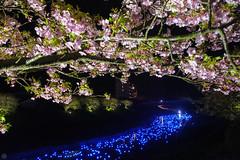20160305-DSC_2331.jpg (d3_plus) Tags: street sea sky plant flower nature japan spring nikon scenery nightshot cloudy bloom  cherryblossom  sakura lightup nightview 28105mmf3545d nikkor    shizuoka    izu   28105   rapeblossom    28105mm  zoomlense  minamiizu    kawazuzakura    28105mmf3545 d700 281053545  nikond700 shimokamo aiafzoomnikkor28105mmf3545d nightcherryblossom 28105mmf3545af    southcherryblossomandrapeblossomfestival aiafnikkor28105mmf3545d shootingstarsandsakurainnight sakurainnight