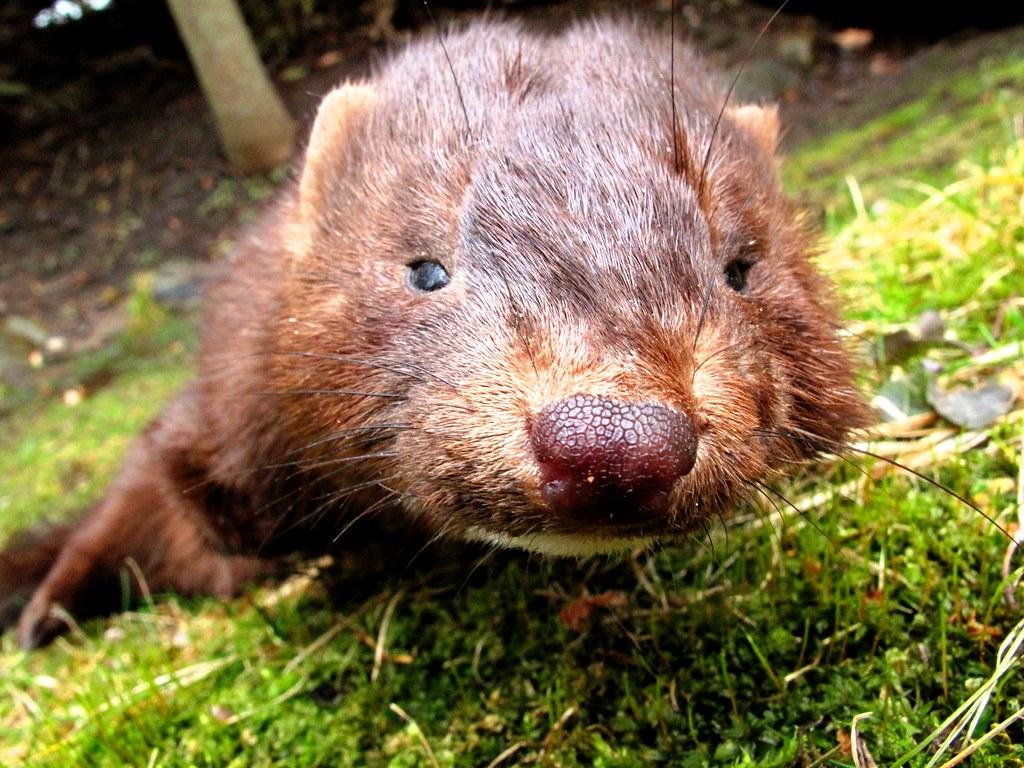 The World 39 s Best Photos of mink