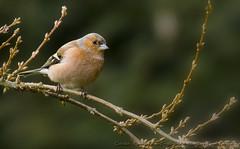 Pinson des arbres (Claude Pokropek) Tags: sony tamron oiseau a77 hautegaronne stlon 150600