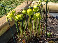Sarracenia flava variety (Pitcher Plant) (jimf_29605) Tags: southcarolina olympus greenville pitcherplant varieties sarraceniaflava tg3 frontyardboggarden