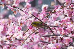 (EHbtj) Tags: plum whiteeye japaneseapricot k30