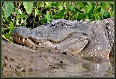 Fluffy??? (WanaM3) Tags: nature nikon texas gator reptile wildlife alligator bayou pasadena canoeing predator paddling alligatormississippiensis bodyarmor clearlakecity d7100 apexpredator horsepenbayou wanam3 nikond7100