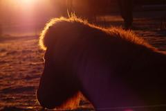 Morning light (evisdotter) Tags: morning light horse sunrise hst sooc