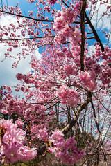20160306-DSC_6169 (Kay's...) Tags: cherryblossom sakura   wuling wulingfarm