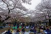 20160405-062-Picnics under Yoyogi-koen cherry blossoms (Roger T Wong) Tags: travel people holiday japan garden balloons tokyo spring picnic crowd harajuku cherryblossoms canonef1740mmf4lusm yoyogikoen 2016 canon1740f4l canoneos6d rogertwong