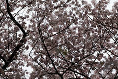 20160405-049-Picnics under Yoyogi-koen cherry blossoms (Roger T Wong) Tags: travel people holiday japan garden balloons tokyo spring picnic crowd harajuku cherryblossoms yoyogikoen 2016 canonef70200mmf4lisusm canon70200f4lis canoneos6d rogertwong
