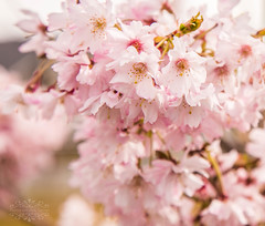 Spring Blossom (thomask8) Tags: pink flowers trees plants flower color macro nature floral canon outdoors photography spring colorful bokeh ngc bloom budding springtime blooming onawalk naturescenes simplyflowers mygardenschool