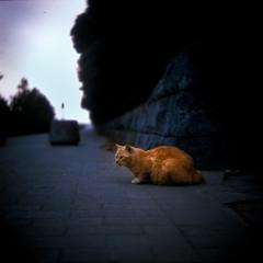 lion heart (TommyOshima) Tags: street 6x6 tlr cat square fujifilm triplet ricohflex rvpf ricohflexviis tripletlens trinlensreflex