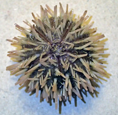 Lytechinus variegatus (variegated sea urchin) (Sanibel Island, Florida, USA) 1 (James St. John) Tags: sea island florida short variegated urchin sanibel urchins echinoid spined variegatus echinoidea echinoids lytechinus