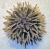 Lytechinus variegatus (variegated sea urchin) (Sanibel Island, Florida, USA) 1 (James St. John) Tags: sea island florida short variegated urchin sanibel urchins echinoid spined variegatus echinoidea echinoids lytechinus