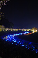 20160305-DSC_2312.jpg (d3_plus) Tags: street sea sky plant flower nature japan spring nikon scenery nightshot cloudy bloom  cherryblossom  sakura lightup nightview 28105mmf3545d nikkor    shizuoka    izu   28105   rapeblossom    28105mm  zoomlense  minamiizu    kawazuzakura    28105mmf3545 d700 281053545  nikond700 shimokamo aiafzoomnikkor28105mmf3545d nightcherryblossom 28105mmf3545af    southcherryblossomandrapeblossomfestival aiafnikkor28105mmf3545d shootingstarsandsakurainnight sakurainnight