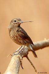 Pied Bushchat female (Amit Shankar Pal) Tags: bird birds hyderabad amit piedbushchat wwwamitshankarpalcom amitshankarpal