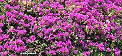 floreale (archgionni) Tags: flowers plants nature leaves foglie petals natura flowerbed petali fucsia floresbugambiliasveraneras