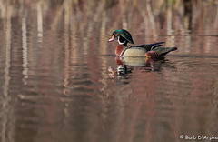 Male Wood Duck (naturethroughmyeyes.com) Tags: ontario canada nature outdoors spring wildlife northamerica wildlifephotographer wasagabeach malewoodduck naturephotographer dabblingduck naturethroughmyeyescom barbaralynne eos1dx canon1dx copyrightbarbdarpino barbaralynnedarpino barbdeardendarpino