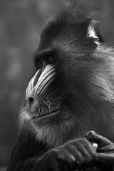 Mandrill Yeti (nyanc) Tags: park portrait blackandwhite bw male netherlands monochrome animal animals prime zoo monkey blackwhite nikon d nederland yeti portret dier animali animalia mammalia aap mandrill rhenen primates ouwehands ouwehandsdierenpark dierenpark mandril chordata mandrillussphinx mandrillus d5200 mandrillyeti