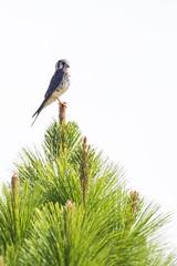 Halconcito colorado (LeoNardo 316) Tags: bird ave pajaro entrerios vogel federacion halcon halconcitocolorado halconcito