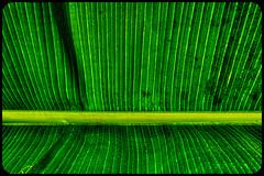 Leuchtendes Bananenblatt / Glowing Banana Leaf (chrisar676) Tags: color colour green colors germany deutschland europa europe colours stuttgart sony struktur banana bananas grün banane botanicgarden hdr highdynamicrange farben abstrakt bananen wilhelma bananaleaves bananaleaf badenwürttemberg botanischergarten bananenblatt bananenblätter sonydscrx100m3 aurorahdrpro aurorahdr