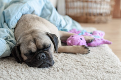 Clarence and the magic dragon (tessascotolson) Tags: puppy pug clarence