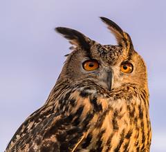 Eagle Owl (AngelCrutch) Tags: bird animal eyes looking beak feathers owl pontefract eagleowl farmercopleys captivebird