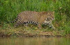 Brazil. (richard.mcmanus.) Tags: brazil latinamerica cat explore pantanal gettyimages mcmanus jaguars rainforests