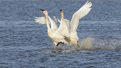 Competitive Swans (015548 (Mike S Perkins) Tags: blue white water mar flying excited takeoff trumpeterswan squawcreeknwr