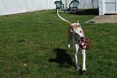 Spring Fun (DiamondBonz) Tags: dog pet ball play hound ears whippet spanky