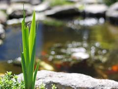 Bubble Bokeh (Wargus) Tags: green garden pond bokeh autofocuslens smcpentaxf50mmf14 pentaxk3