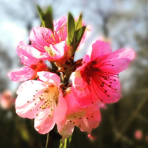 #beauty #nogamewithfilters #nature #spring #peach #blossom #iloveit #pink