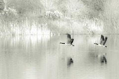 Messing About With Canadians (bredma) Tags: uk wild bw canada nature geese wildlife flight naturallight olympus canadian british takeoff canadageese bif em1 40150mm28