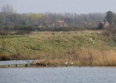 North Cave Wetlands (nataliemarchant) Tags: yorkshire coot eastyorkshire shelduck yorkshirewildlifetrust gadwallduck northcavewetlands