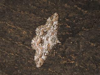 Liuzhou/柳州 - Cleora sp. DSCN3860