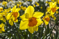 Holland - Narcissus Daffodil 2016-11 (robdeheer) Tags: flowers sun holland canon spring nederland thenetherlands explore daffodil paysbas zon bloemen narcis niederlande tegenlicht narcissen voorjaar bulbfields frhjahr hollanda frhlingszeit narcissusdaffodil updatecollection canon7dnoordholland