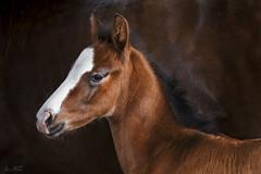 Young horse (Shakir Abdullah) Tags: horse arabian