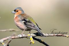 fringuello (Tonpiga) Tags: fringuello faunaselvatica tonpiga uccelliinlibert