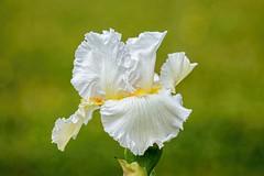 White Iris (brev99) Tags: iris flower closeup bokeh whiteiris greenbackground d7100 nikviveza topazdenoise tamron180f35 topazdetail cacorrection dxooptics8