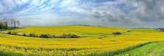 Gelbes Landschaftspanorama (Wunderlich, Olga) Tags: rgen bume raps inselrgen