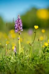 so many of them (Tschissl) Tags: flowers austria sterreich orchids pflanzen blumen location april niedersterreich orchideen orchis