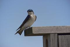 Baker wetlands (pdecell) Tags: swallow lawrenceks tachycineta bakerwetlands