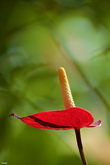 Unique (Blas Torillo) Tags: red naturaleza flower nature beauty yellow mxico mexico rojo nikon flor amarillo puebla belleza cuetzalan professionalphotography fotografaprofesional mexicanphotographers d5200 fotgrafosmexicanos nikond5200