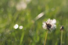DSC_0839 (memories by marsha photography) Tags: morning flowers landscape spring aperture nikon purple naturallight dew lilacs dandilion prettyflowers floweres nikond700 marshawoodrum apetureshutterspeed