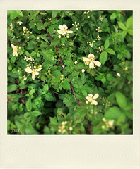 Blackberry Blossoms (jeanne.marie.) Tags: white green berries blackberry blossoms wildflowers iphoneography iphone5s polamatic image58100 100xthe2016edition 100x2016