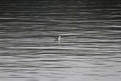 Lone gull (bichane) Tags: canada water bc britishcolumbia seagull gull vancouverisland single tofino lone ripples